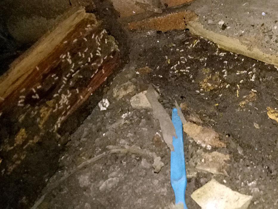 identifying termites