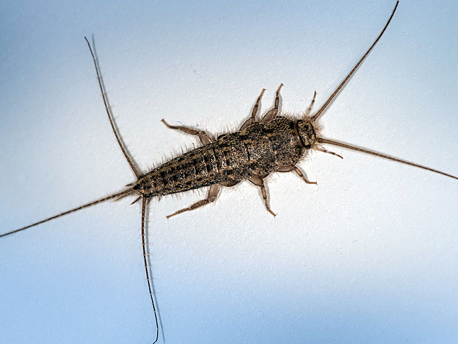 typical silverfish