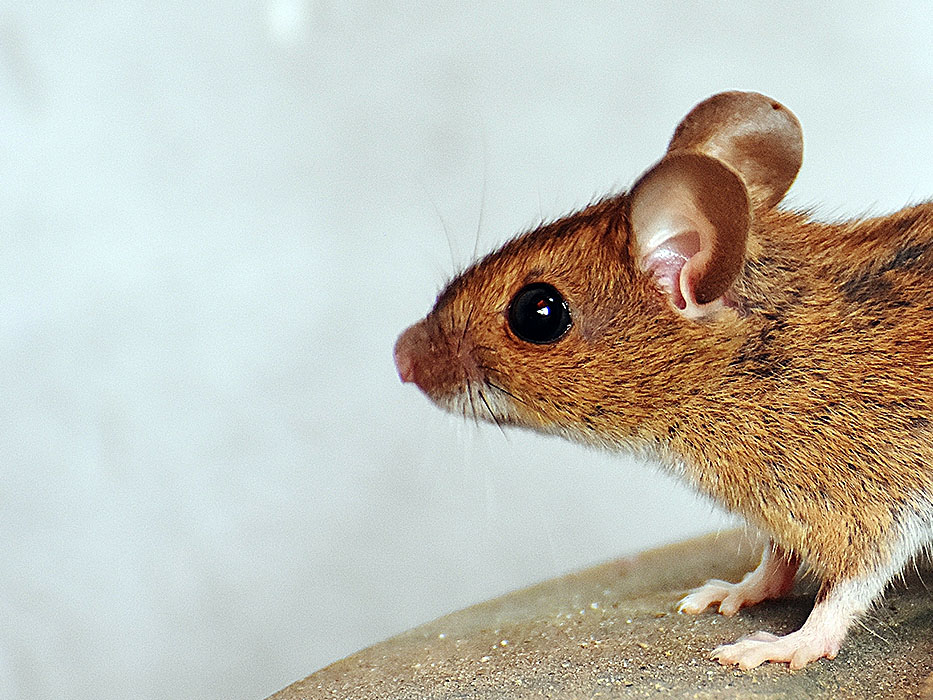 typical mouse pest