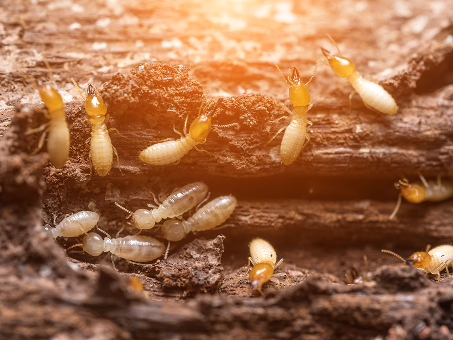 termites control eating timber